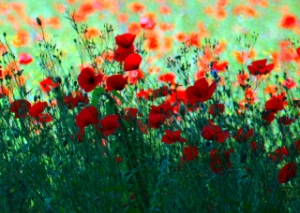 Poppies Near Amboise